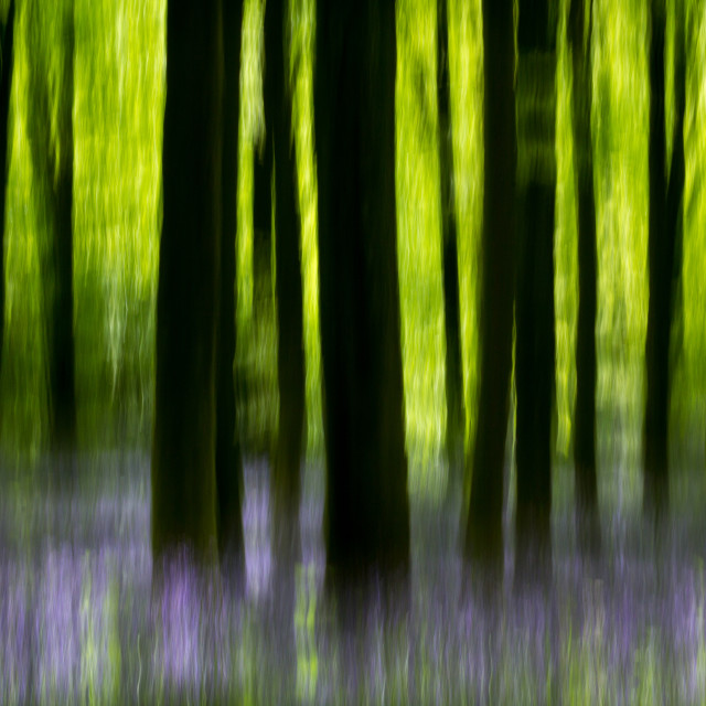"""""""Impressions of a bluebell wood"""" stock image"""