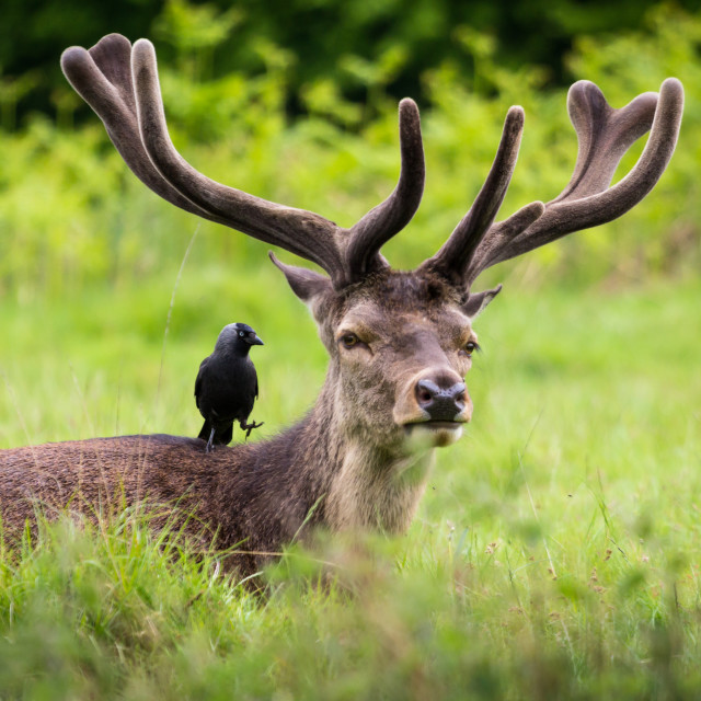 """""""Stag and Jackdaw"""" stock image"""
