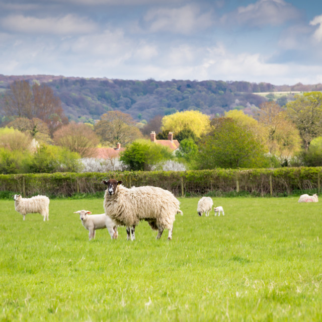 """""""Sheep and lamb"""" stock image"""
