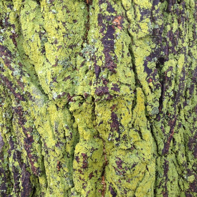 """Green Lichen on a tree"" stock image"