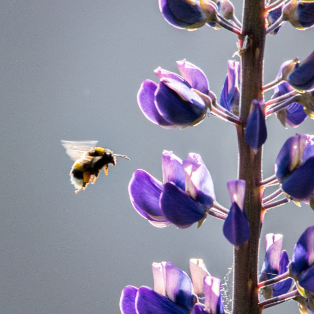 """""""Bumble Bee and Lupin"""" stock image"""