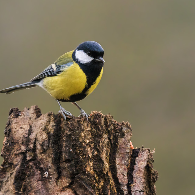 """Great Tit perched on a tree stump"" stock image"