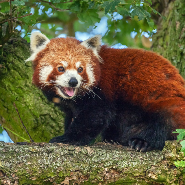 """""""Red Panda in a tree"""" stock image"""
