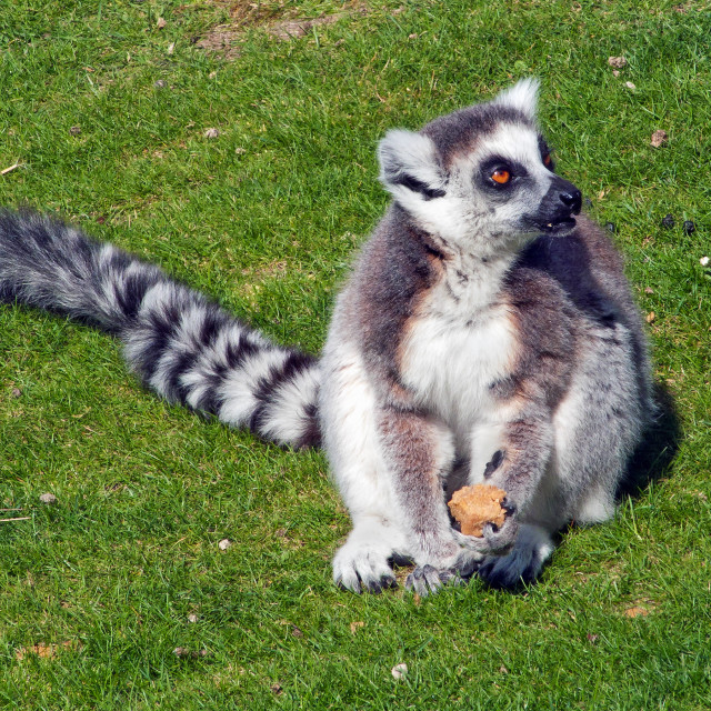 """""""Ring-tailed Lemur at lunch."""" stock image"""