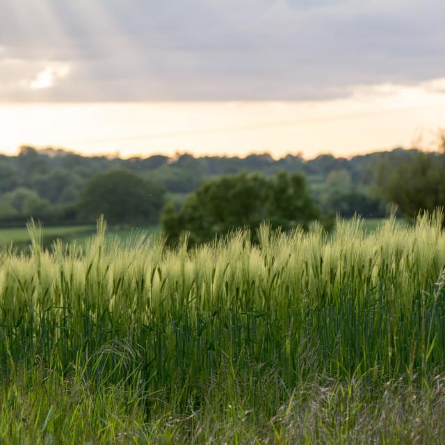 """Field of crops (landscape)"" stock image"