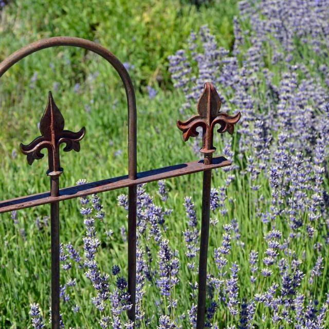 """Purple fragrant lavender flowers"" stock image"