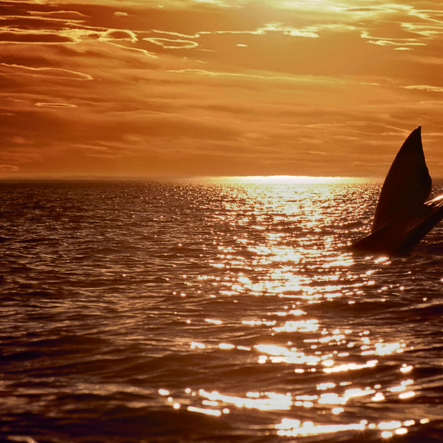 """Right whale. Sunset in Patagonia"" stock image"