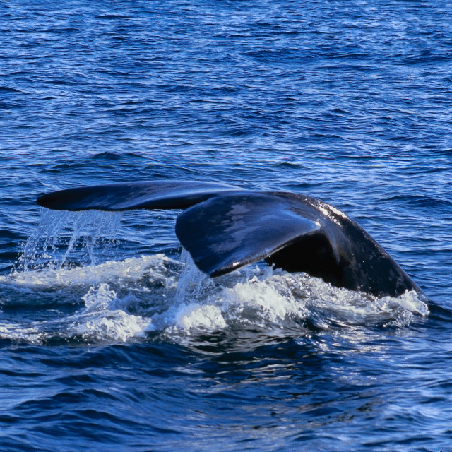"""""""Right whale in Argentina"""" stock image"""