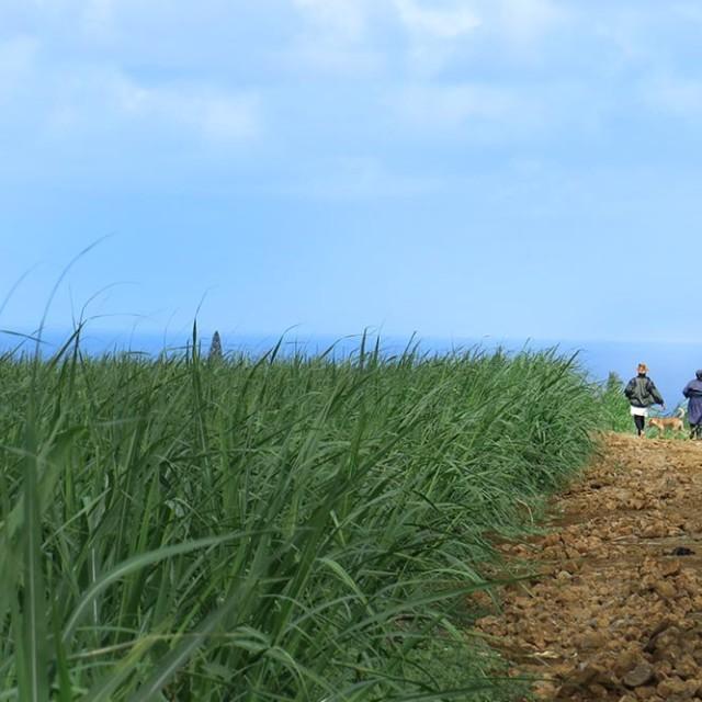 """Women in a sugar cane field"" stock image"