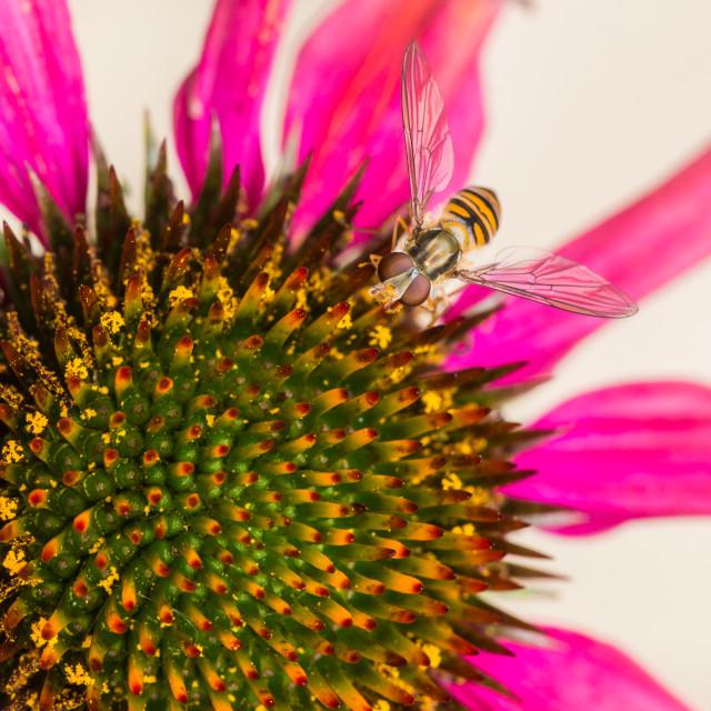 """Echinacea Grazing"" stock image"