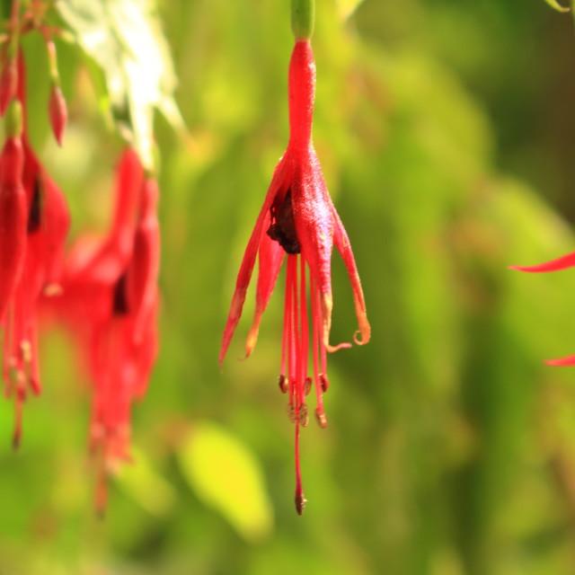 """princess earring flower"" stock image"