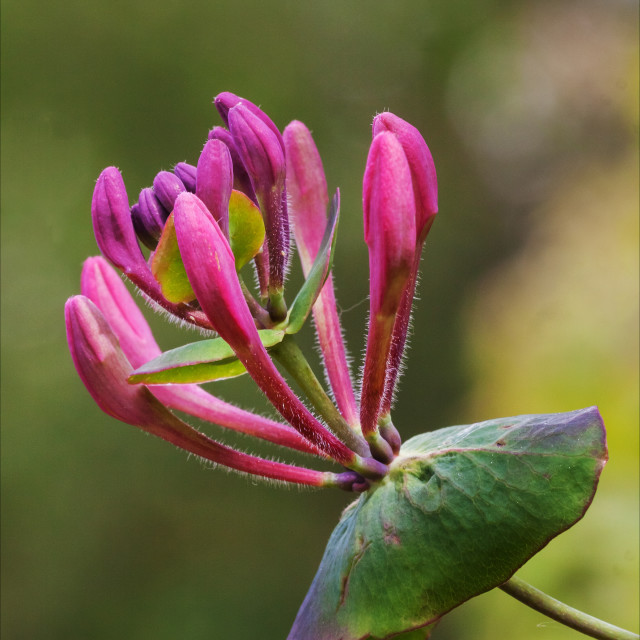 """Honeysuckle close-up"" stock image"