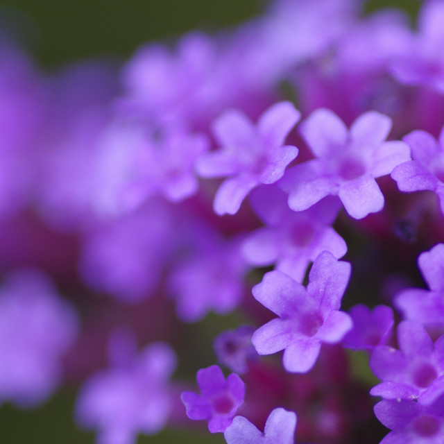 """Verbena bonariensis shallow focus"" stock image"