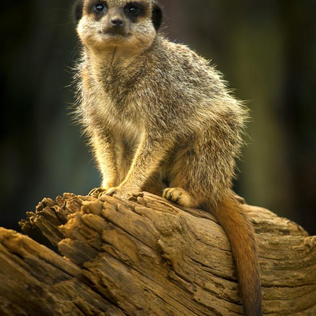 """meerkat on a log"" stock image"