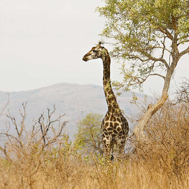 """wild giraffe in savannah, Kruger, South Africa"" stock image"