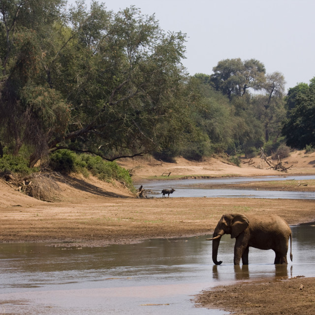 """lonely african elephant drinking in the riverbank, Kruger, South Africa"" stock image"