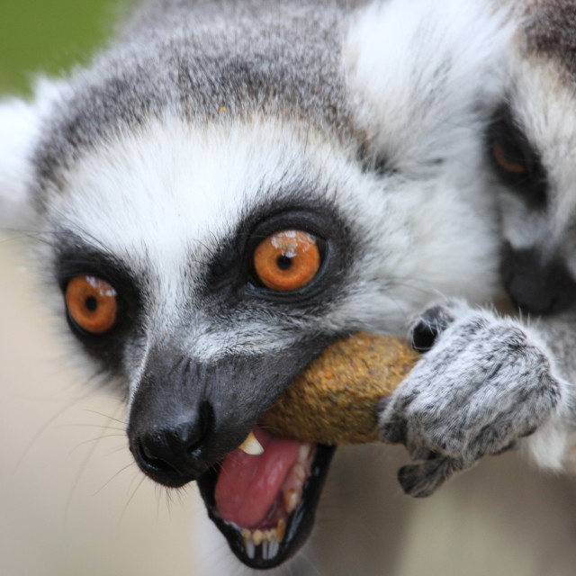 """Lemurs eating"" stock image"