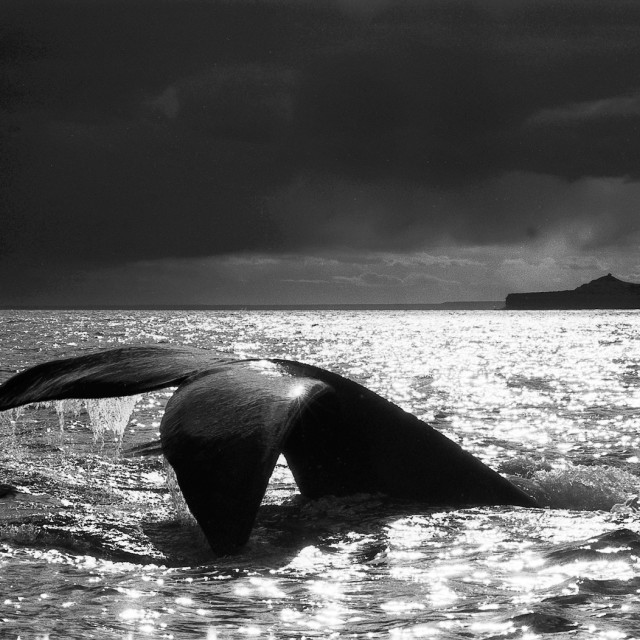 """Right whale"" stock image"