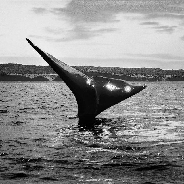 """""""Right whale"""" stock image"""