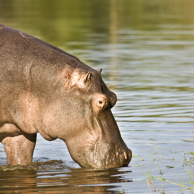 """hipo eating grass in the riverbank, Kruger, South Africa"" stock image"