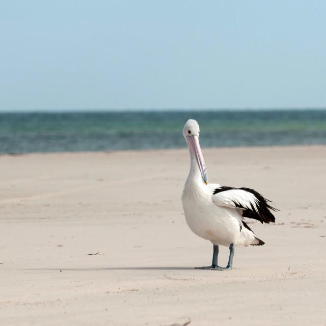"""Pelican on the beach Australia"" stock image"