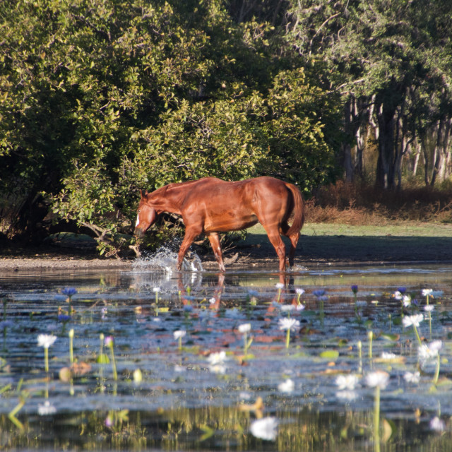 """Horse in water"" stock image"