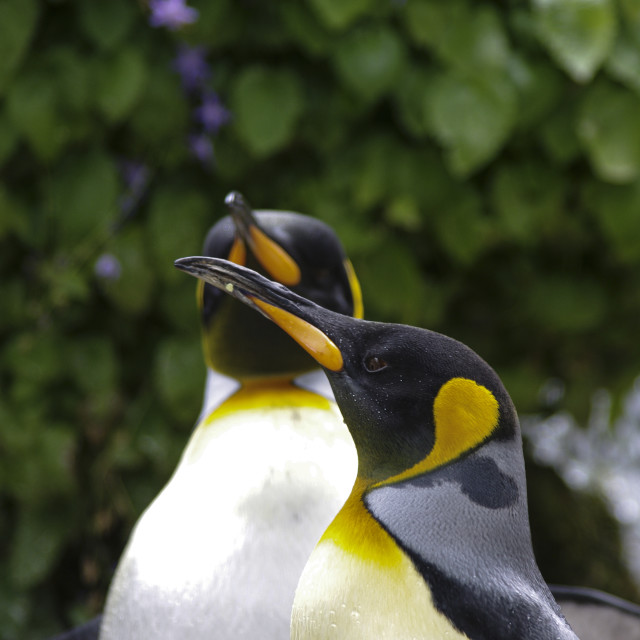 """King Penguins 2"" stock image"