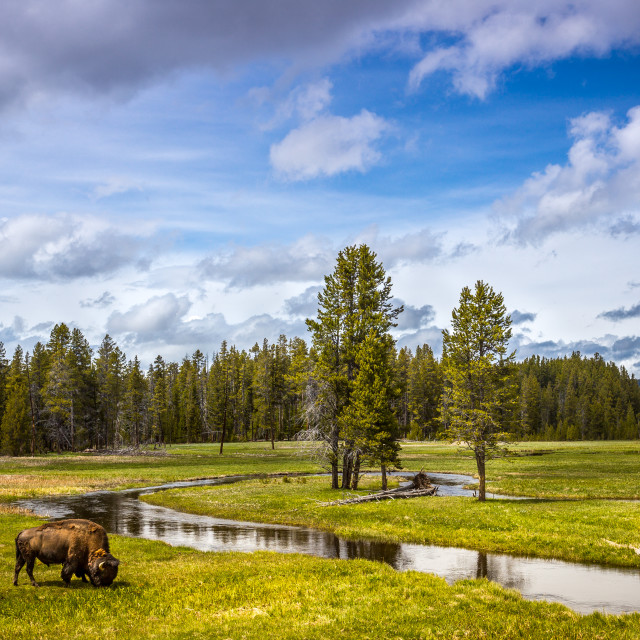 """Grazing Bison"" stock image"