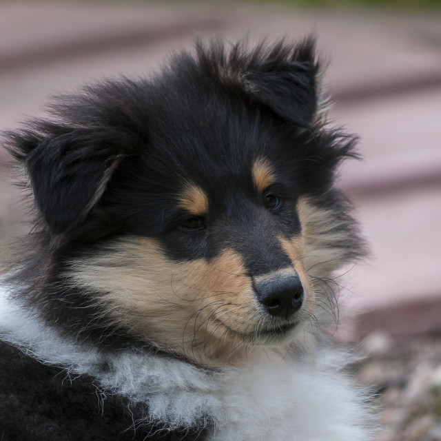 """Rough collie pup"" stock image"