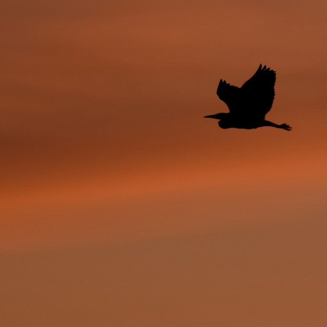 """""""Silhouetted flying heron at sunset"""" stock image"""