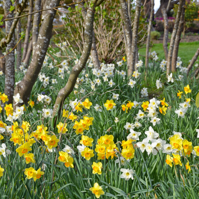 """Spring daffodil garden and trees"" stock image"