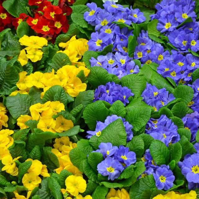 """Colorful winter primroses"" stock image"