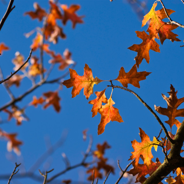 """Golden oak leaves on a clear Autumn day"" stock image"
