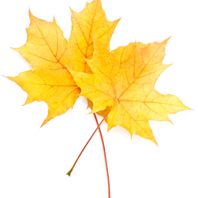 """Autumn yellow maple leaf"" stock image"
