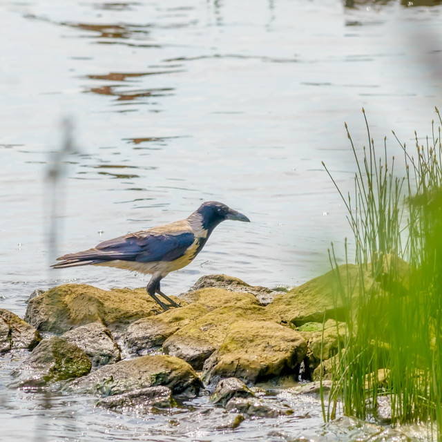 """""""Hooded Crow by the River"""" stock image"""