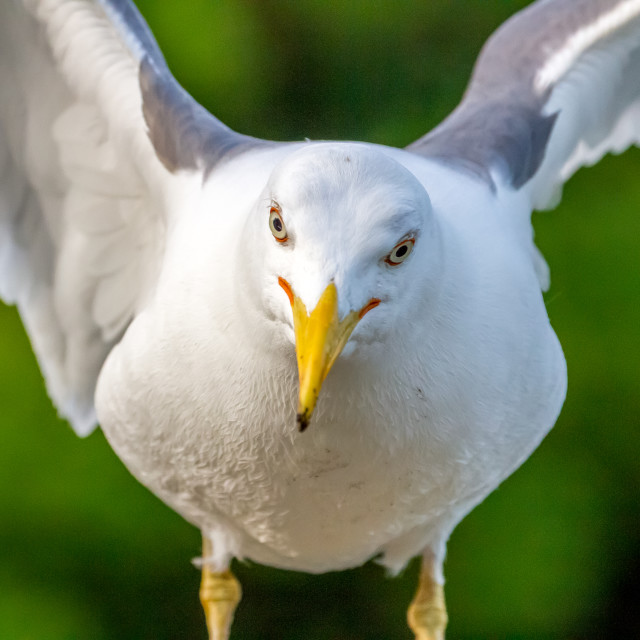 """Seagull posed aggressively"" stock image"