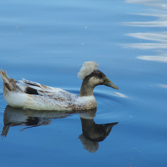 """Crested duck"" stock image"