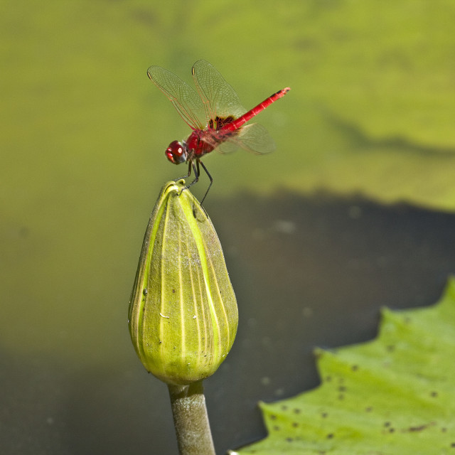 """pink dragon fly on a lotus flower, Kruger, South Africa"" stock image"