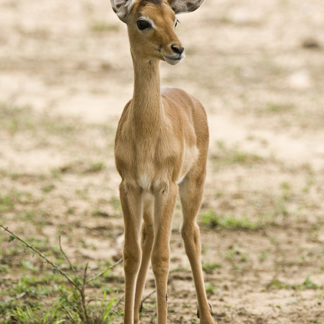 """portrait of a baby impala standing in the bush, Kruger, South Africa"" stock image"