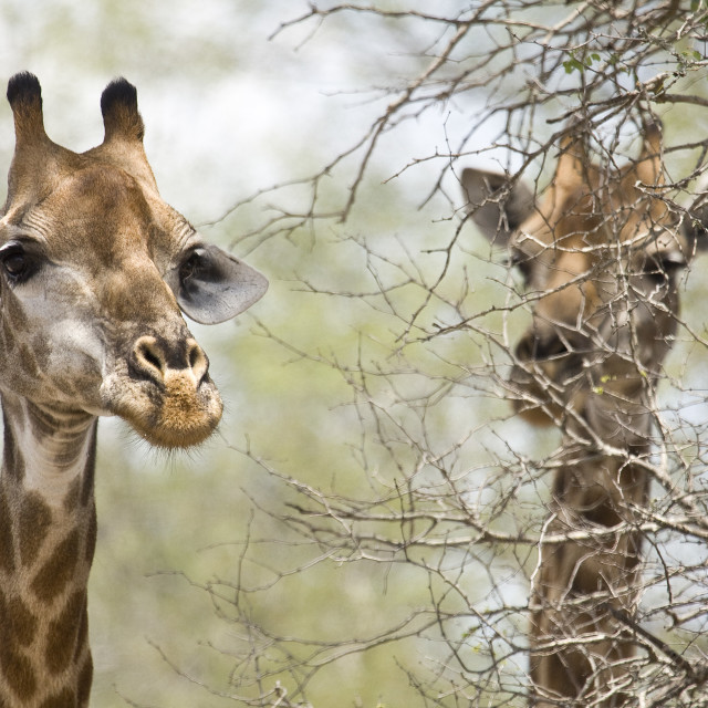 """portrait of two wild giraffes in the bush, Kruger, South Africa"" stock image"