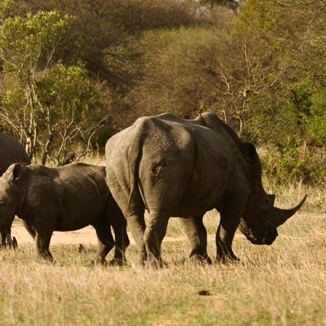 """""""family of african white rhinoceros, Kruger Park, South Africa"""" stock image"""