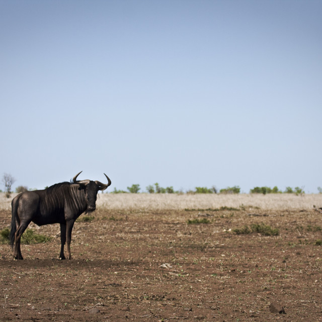 """""""wild wildebeest standing in dry savannah, Kruger, South Africa"""" stock image"""