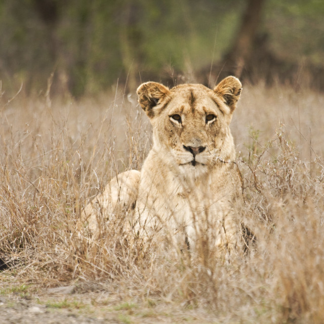 """""""portrait of a lioness resting in the bush, Kruger, South Africa"""" stock image"""