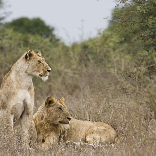 """""""lions on the look out, Kruger, South Africa"""" stock image"""