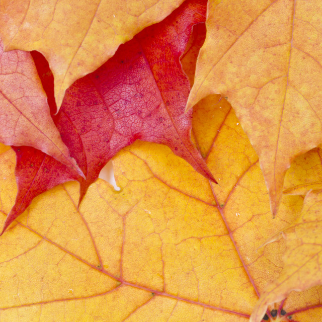 """""""Red maple leaves background"""" stock image"""