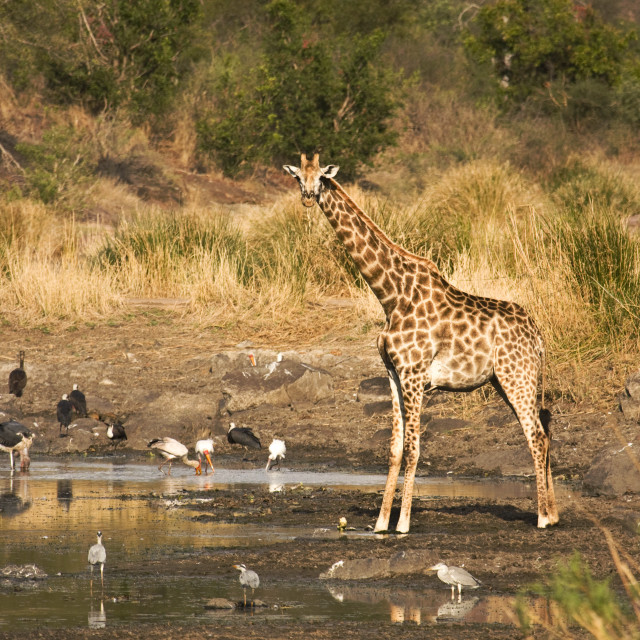 """wild giraffe in the riverbank, Kruger, South Africa"" stock image"