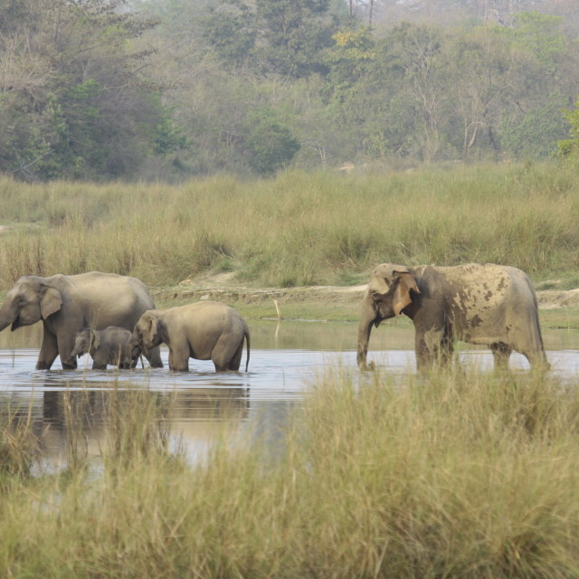 """""""family of wild asian elephants crossing the river at Bardia national park, Nepal"""" stock image"""