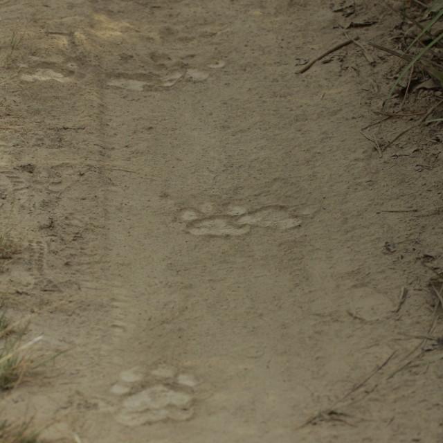 """Bengal tiger pugmarks on the sand, Bardia Nepal"" stock image"