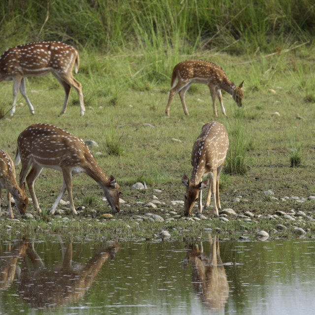 """""""group of spotted deers in the riverbank, Bardia, Nepal"""" stock image"""