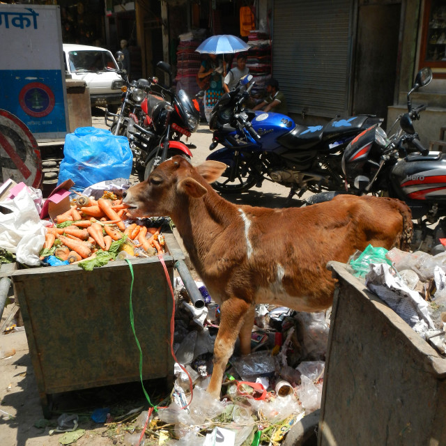 """a calf is eating rubbish and vegetables in a rubbish can, Kathmandu, Nepal"" stock image"